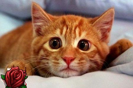 hvordan tisser katte