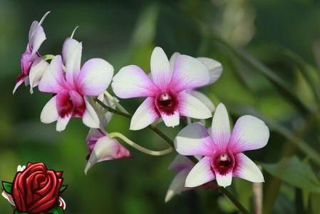 Kuidas phalaenopsise orhideed siirdada? Mõned peamised reeglid