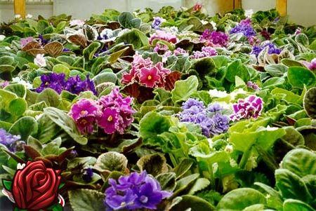 Kuidas hoolitseda lilla eest, et nad õitsema rikkalikult?