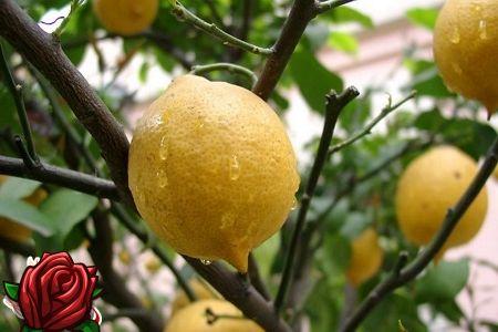 Kuidas hoolitseda sidruni mahutavuse eest: kõik sisu nõtked