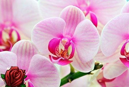 Room Orchid: hoolitseda taime eest