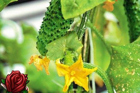 Kasvatades igaüht kadedust: õige kasvatamine kurgi seemikud