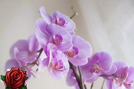 Orchid rom: forskjellige arter og deres egenskaper