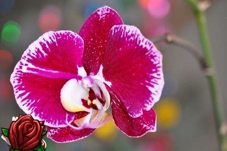 Orchidej péče