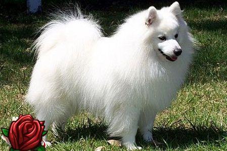 Jaapani spits tänapäeva koeraga koerale